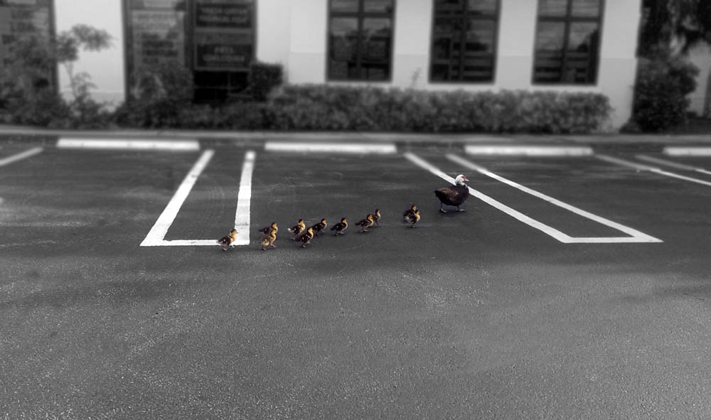 ducks waddling along